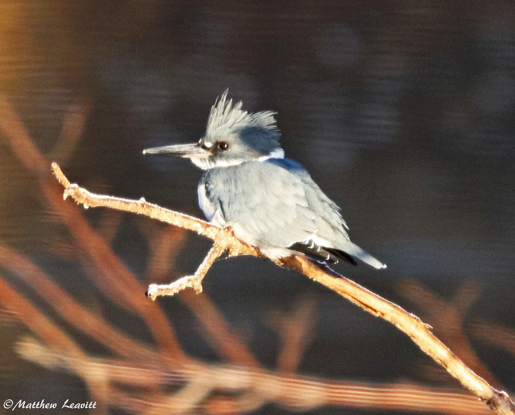 Male belted kingfisher 1