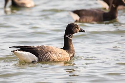 Une bernache cravant (A brent goose)