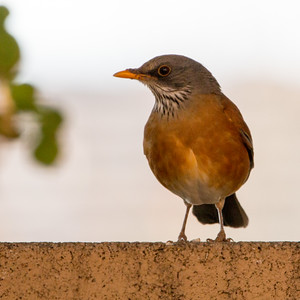 2018-01-26  Rufous-backed Robin