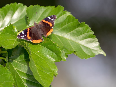 2019-04-11  Red Admiral