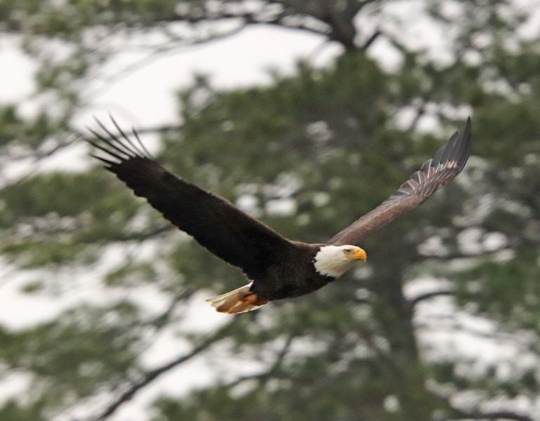 Bald eagle 175