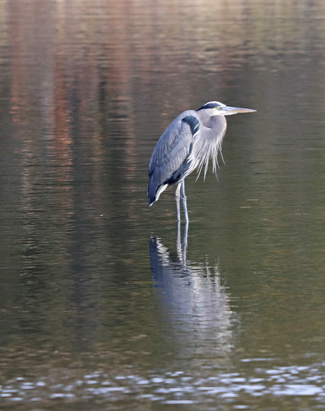 Great blue heron another reflection