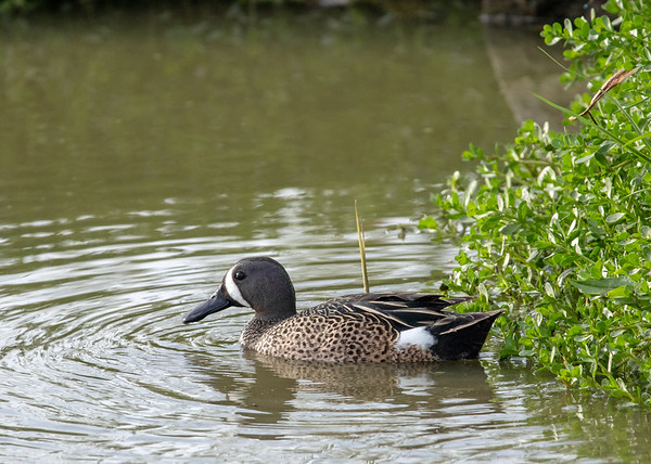 2019-04-11  Blue-winged Teal