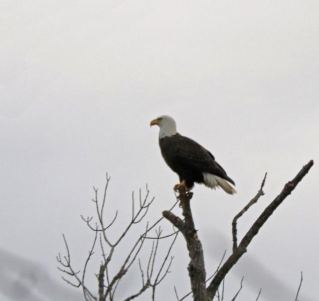 Eagle 53