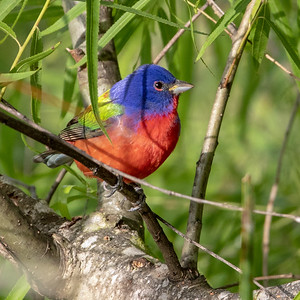 2019-04-11  Painted Bunting