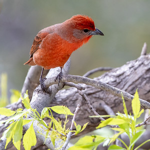 2020-03-29  Hepatic Tanager