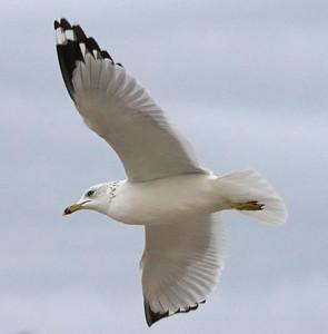Seagull 366