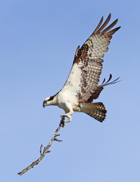 Osprey 240