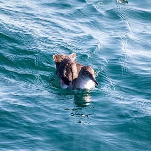 Puffin des Baléares (Balearic Shearwater)