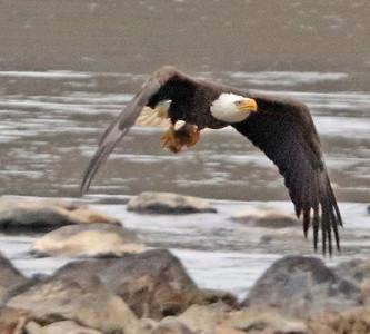 Bald eagle 169
