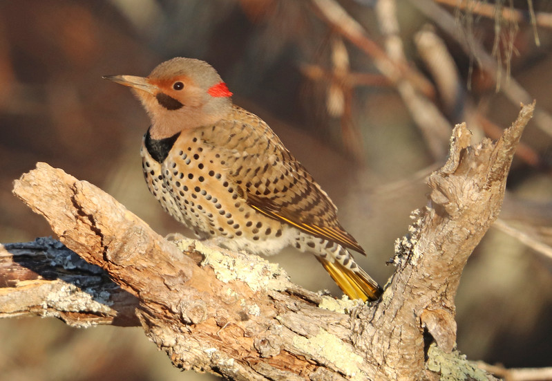 Northern flicker 1