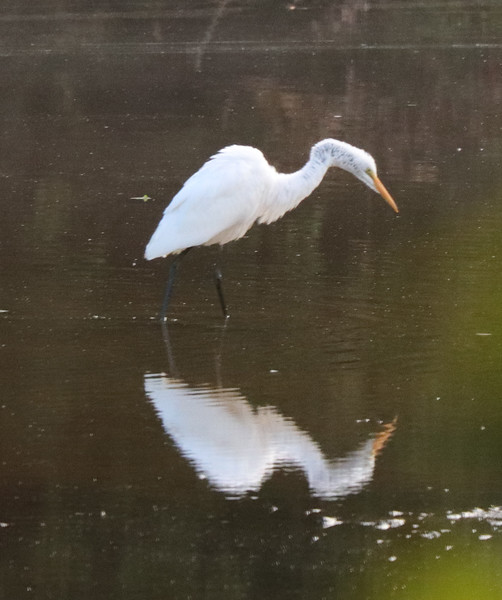 Great white egret 22