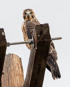 2021-08-14  Swainson's Hawk