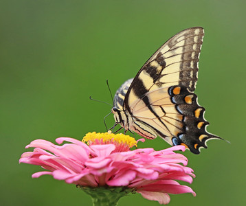 Eastern tiger swallowtail 603
