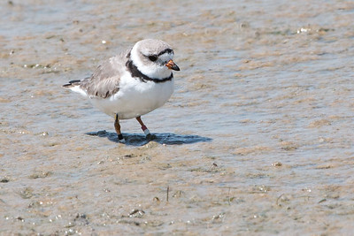 2017-04-15  Piping Plover