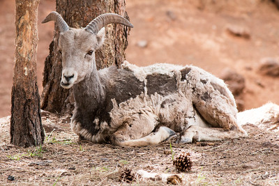 2017-05-08  Big Horn Sheep