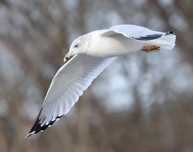 Seagull 487