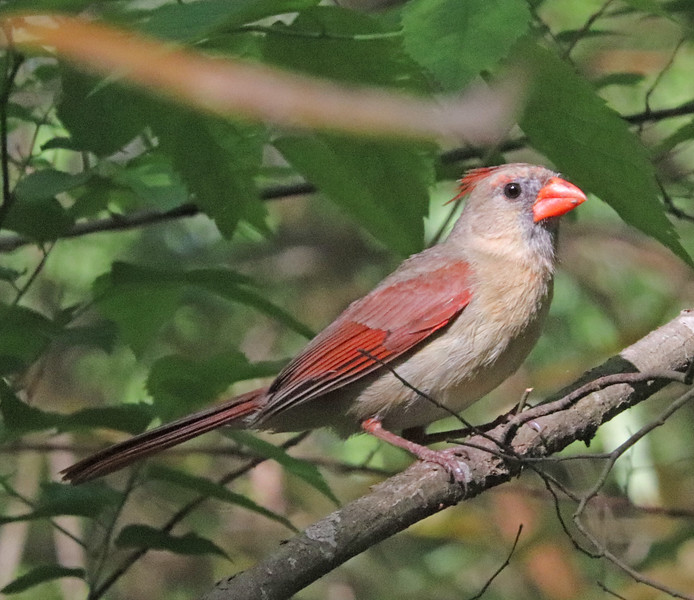 Cardinal 141