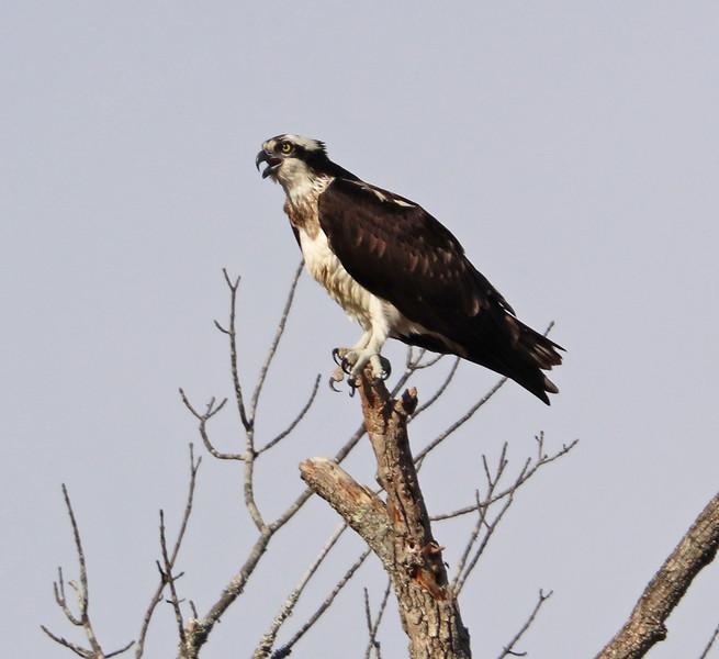 Osprey 78