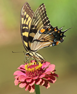 Eastern tiger swallowtail 1
