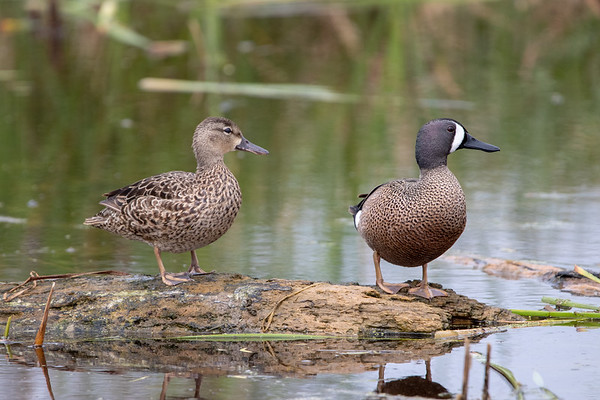 2019-04-12  Blue-winged Teal (female and male)