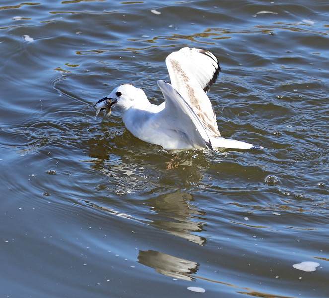 Gull and fish 1