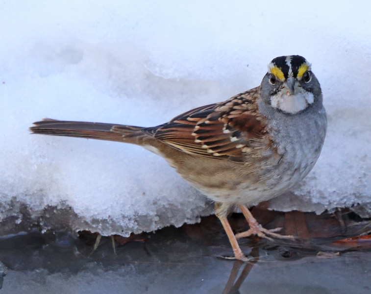 White-throated sparrow 3