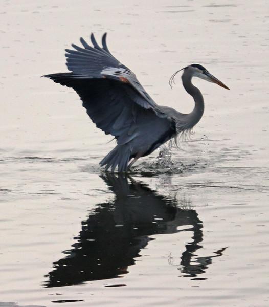 Heron evening 2