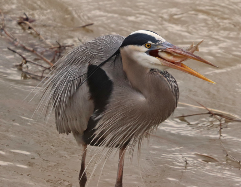 Great blue heron and fish 3