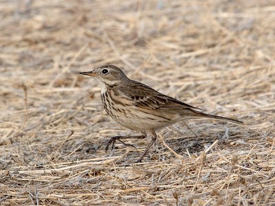 2018-01-14  American Pipit