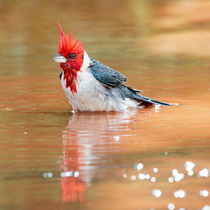 2018-04-15  Red-crested Cardinal
