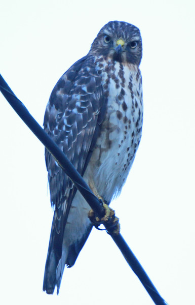 Red-tailed hawk 38