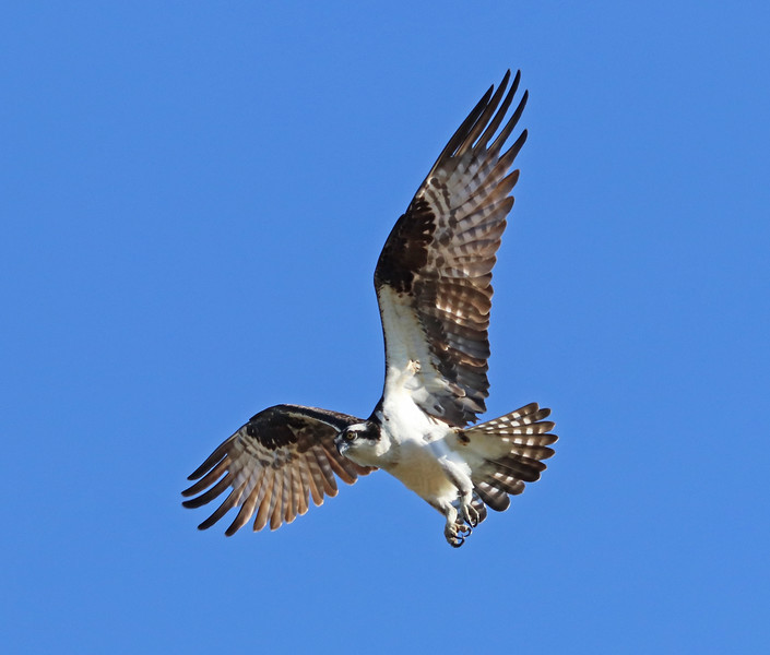 Osprey 570