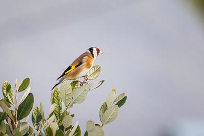 Chardonneret élégant (European goldfinch)