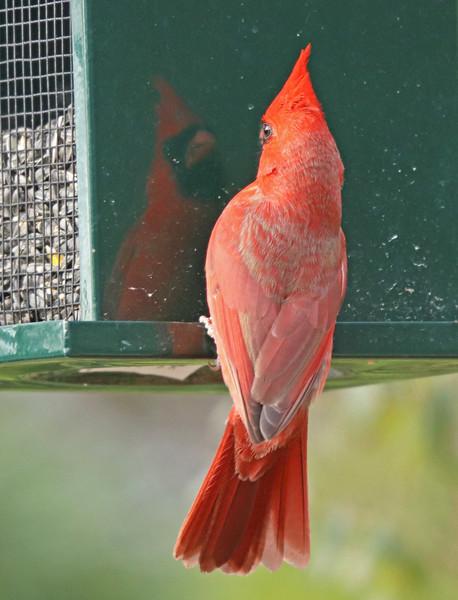 Cardinal on feeder 1