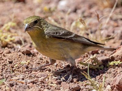 2019-03-30  Lesser Goldfinch (green backed) (female)
