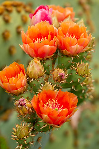 Prickly Pear Cactus Two