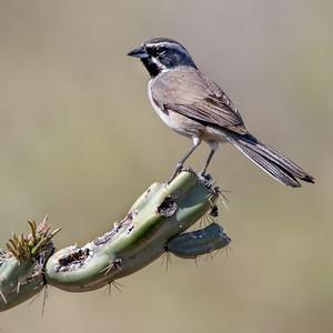 2019-03-31  Black-throated Sparrow