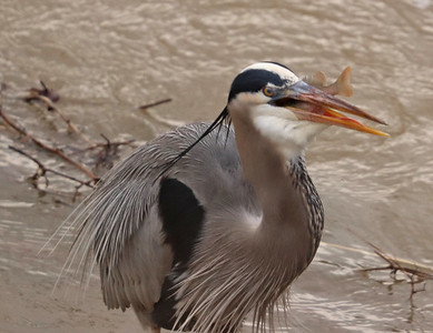 Great blue heron and fish 5