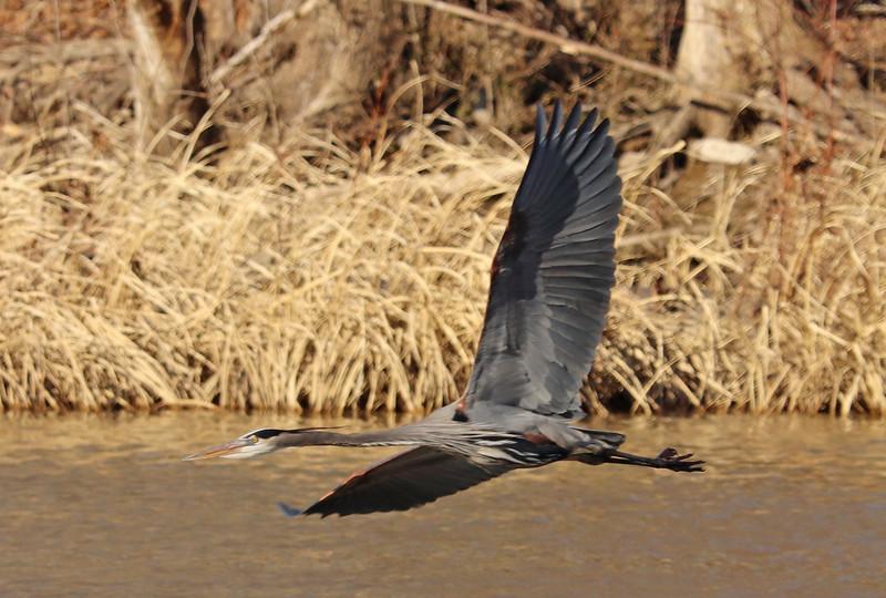 Heron in flight 2