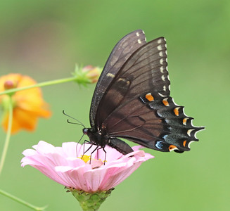 Eastern tiger swallowtail 852