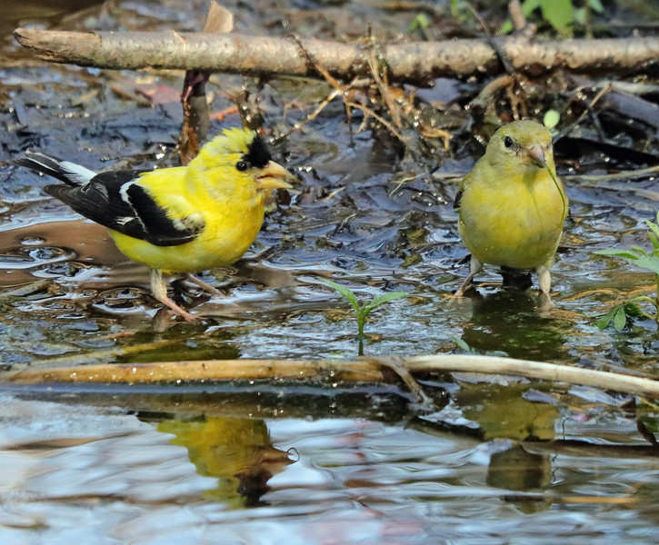 Goldfinches 12
