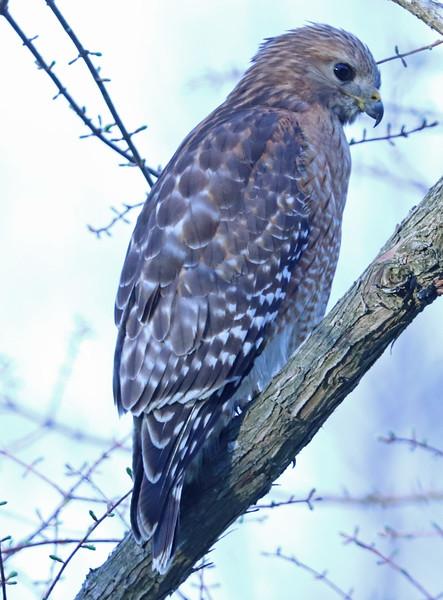 Red-shouldered hawk 358