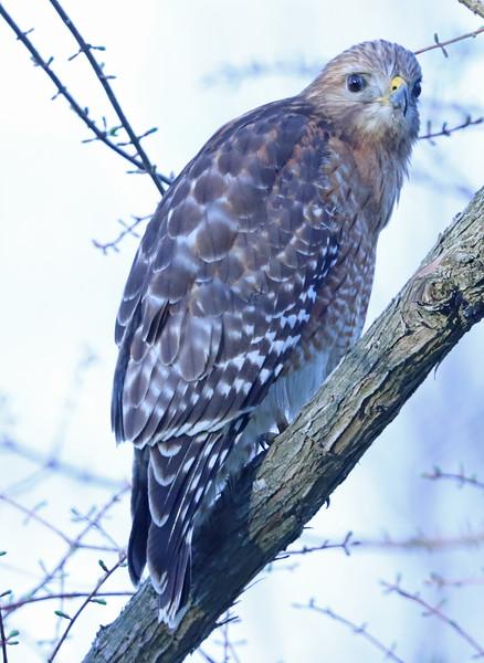 Red-shouldered hawk 355