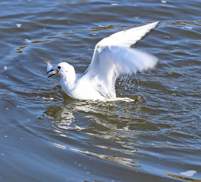 Gull and fish 3