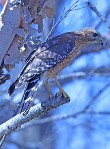 Red-shouldered hawk 90