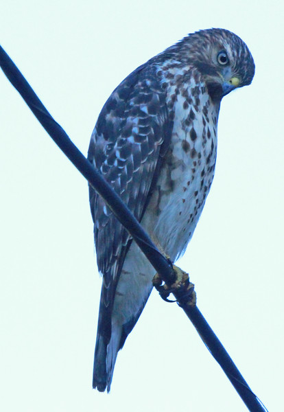 Red-tailed hawk 76
