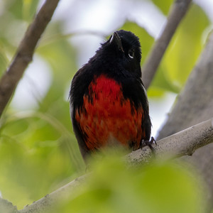 2020-03-29  Painted Redstart