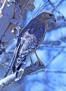 Red-shouldered hawk 88