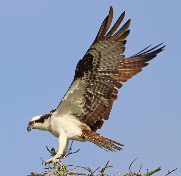 Osprey 478